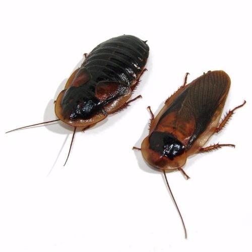 Kakkerlakken Dubia Middel