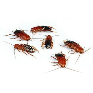 Kakkerlakken Redrunners